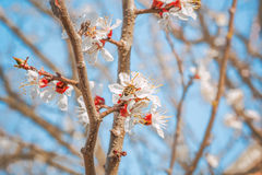 Flowering branch of an apricot-tree in spring orchard. Photo ton Stock Images