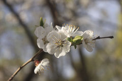Flowering branch of apricot-tree in a sunny spring day.  royalty free stock photo