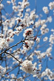 Flowering branch apricots Royalty Free Stock Photo