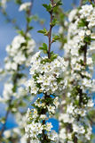 Flowering branch apricots Stock Image