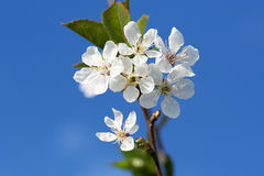 Flowering branch apricots Stock Photo