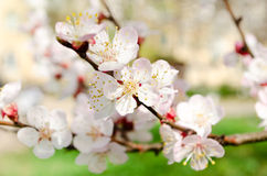 Flowering branch. Beautiful flowering branch of apricot tree stock photo