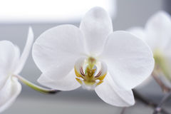 Flowering branch of beautiful white orchid flower with yellow center isolated close-up macro. Beautiful flower on the window Royalty Free Stock Photo