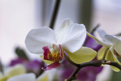 Flowering branch of beautiful white orchid flower with yellow center isolated close-up macro. Beautiful flower on the window Stock Images