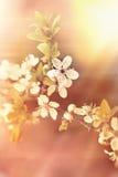 Flowering branch - blooming tree Stock Image