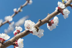 Flowering branch. Royalty Free Stock Photography