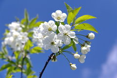 Flowering branch on a blue sky background. Royalty Free Stock Photography