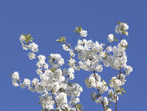 Flowering branch on a blue sky background. Royalty Free Stock Photo