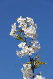Flowering branch on a blue sky background. Stock Photo