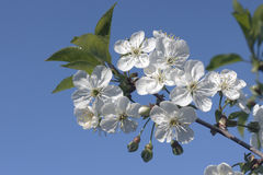 Flowering branch on a blue sky background. Royalty Free Stock Images