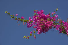 Flowering branch of bougainvillea Stock Images