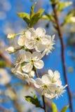 Flowering Branch Of Cherries Against The Blue Sky. Flowering branch of cherries with green leaves against the blue sky Royalty Free Stock Image