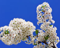 Flowering branch cherry Stock Photo
