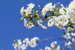 Flowering branch of cherry Royalty Free Stock Photo