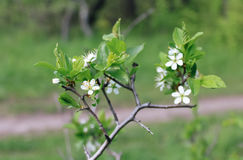 Flowering branch of cherry. Beautiful cherry branch, white on a green background Stock Images