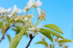 Flowering branch of cherry. Beautiful cherry branch, white on a green background Stock Photos