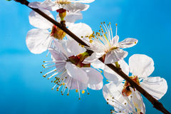 Flowering branch of cherry Royalty Free Stock Image