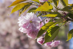 Flowering branch of cherry blossom Royalty Free Stock Photo