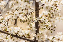 Flowering branch of cherry. Flowering branch cherry close-up in pastel colors Royalty Free Stock Image