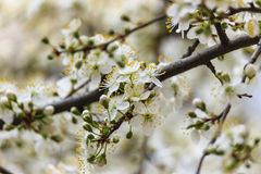 Flowering branch of cherry. Spring bloom white flowers on a branch of a cherry tree Royalty Free Stock Images