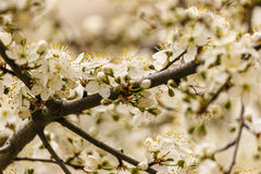 Flowering branch of cherry. Spring cherry blossom in the garden Royalty Free Stock Photography