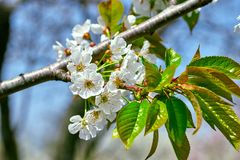 Flowering branch of cherry in spring in the garden against the blue sky. Spring flowering pollination harvest tree nature blossom beauty petal white freshness royalty free stock photo