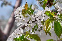 Flowering branch of cherry in spring in the garden against the blue sky. Spring flowering pollination harvest tree nature blossom beauty petal white freshness royalty free stock image