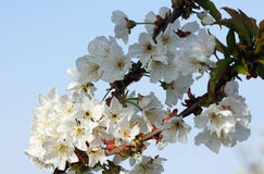 Flowering branch of cherry of vignola, modena. Branch of famous cherry of vignola modena, italy  in full bloom Stock Photography