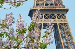 Flowering branch of chestnut on the background of the Eiffel tower royalty free stock image