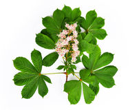 Flowering branch of chestnut tree Stock Photography