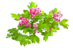 Flowering branch of Crataegus. (Crataegus Pauls Scarlet). Isolated on white Stock Photo