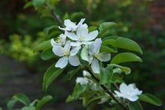 Flowering branch Royalty Free Stock Photos