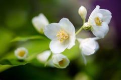 Flowering branch on the framed background. Closeup flowers. Chibushnik in bloom stock image