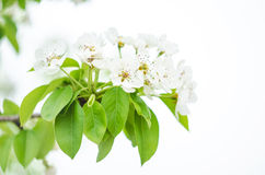 Flowering branch of fruit tree. Close-up on a light background Stock Photo