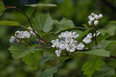 Flowering branch of hawthorn Royalty Free Stock Images
