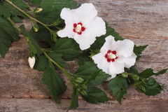 Flowering branch of hibiscus. With white flowers on old wooden Royalty Free Stock Photos