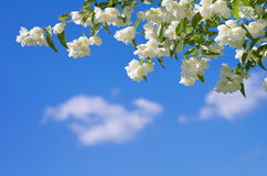 Flowering branch of jasmine. Stock Photos