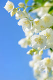 Flowering branch of jasmine. Stock Images