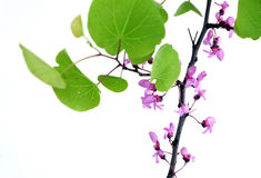 Flowering branch with leaves, on white Royalty Free Stock Images