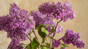 Flowering branch of lilac. Blooming lilac. Flowering branch of lilac stock video footage
