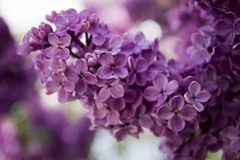 Flowering branch of lilac Stock Photography