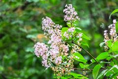 Flowering branch of lilac after rain. Unpretentious spring flowers await Sunny weather after long rain Stock Images