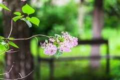 Flowering branch of lilac after rain. Unpretentious spring flowers await Sunny weather after long rain Stock Photo