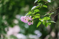 Flowering branch of lilac after rain. Unpretentious spring flowers await Sunny weather after long rain Royalty Free Stock Photo