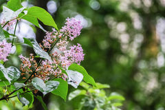 Flowering branch of lilac after rain. Unpretentious spring flowers await Sunny weather after long rain Royalty Free Stock Photos