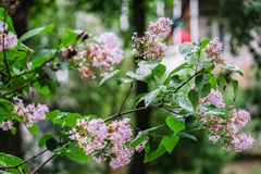 Flowering branch of lilac after rain. Unpretentious spring flowers await Sunny weather after long rain Stock Photos