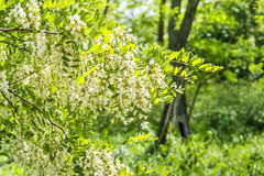 Flowering branch of locust close up royalty free stock photography