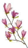 Flowering branch of magnolia. Isolated on white background Royalty Free Stock Photos
