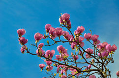 Flowering branch of magnolia Royalty Free Stock Photography