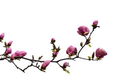 Flowering branch of magnolia cut-out. Flowering branch of magnolia is isolated on white. Saucer magnolia or Magnolia Soulangeana is the most popular garden genus royalty free stock photography